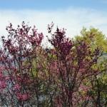 Redbud in Bloom